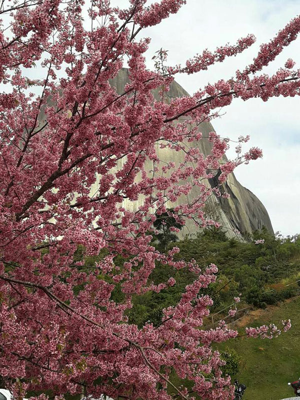 cerejeiras pedra azul